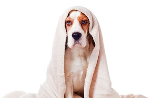 Dog-Under-A-Blanket-On-White-53243893 copy
