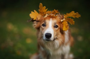 Border Collie Under Yellow Leaves In Autumn